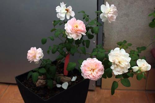 Băng dính Minh Sơn
